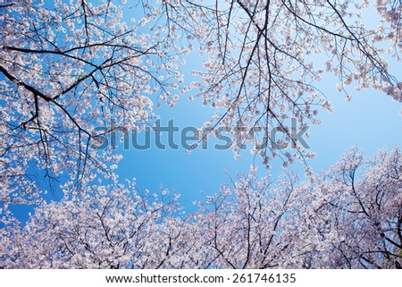 Beautiful cherry blossoms above with clear blue sky in background. - stock photo