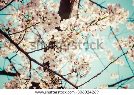 Beautiful cherry blossoms above with clear blue sky in background,vintage - stock photo