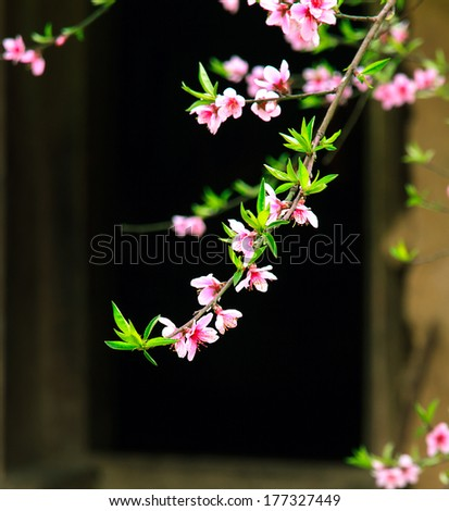 Beautiful cherry blossoms flowers - stock photo