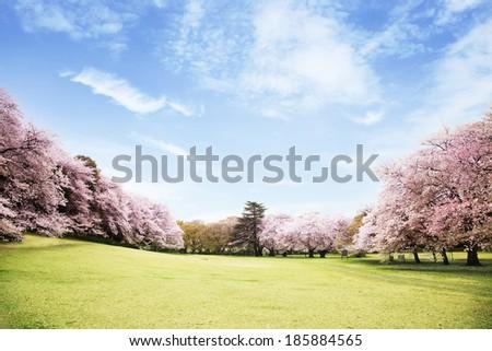 Beautiful cherry blossoms landscape - stock photo