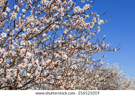 Beautiful cherry blossoms on a warm and sunny spring day - stock photo