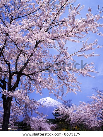 Beautiful cherry blossoms with snow-capped Mount Fuji - stock photo