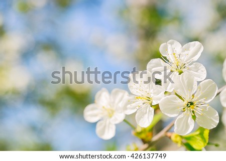 Beautiful cherry flowers in warm colors