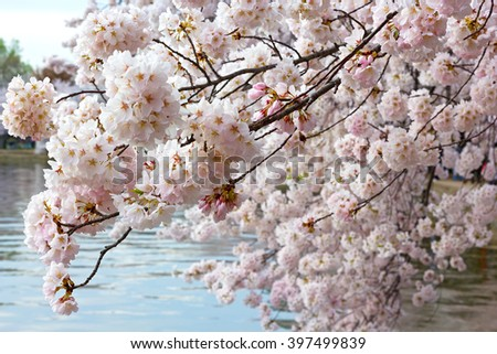 Beautiful cherry tree flowers at the bloom peak. Cherry tree branch near the waters of Tidal Basin in Washington, DC. - stock photo