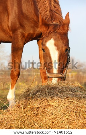 Beautiful chestnut horse eating hay - stock photo