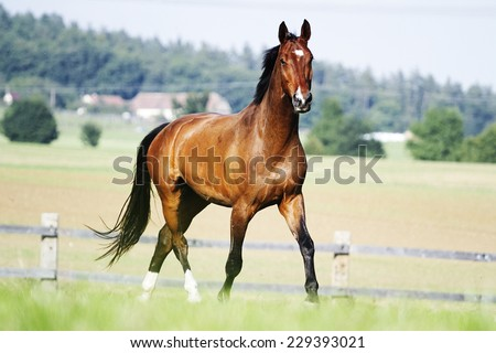 beautiful chestnut horse stallion running in nature - stock photo