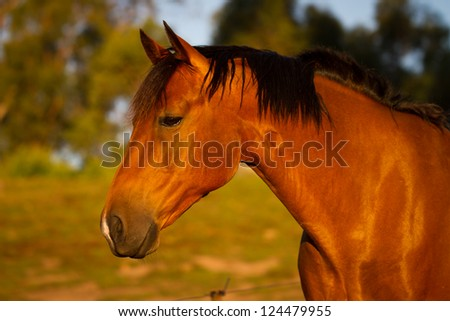 Beautiful chestnut horse stands in the evening light - stock photo