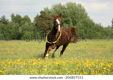 Beautiful chestnut horse trotting at the field with dandelions - stock photo