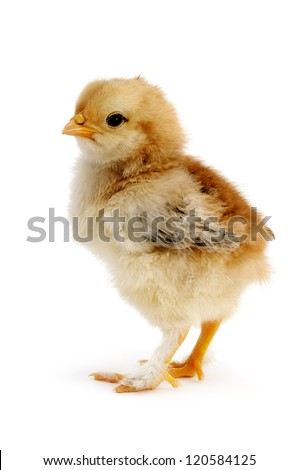 beautiful chicken isolated on white background - stock photo