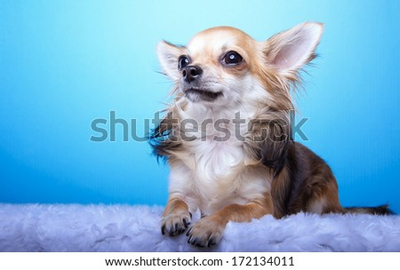 Beautiful chihuahua dog. Animal portrait. Stylish photo. Blue background.  Colorful decorations. Collection of funny animals.