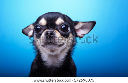 Beautiful chihuahua dog. Animal portrait. Stylish photo. Blue background. Colorful decorations. Collection of funny animals