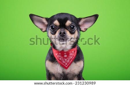 Beautiful chihuahua dog. Animal portrait. Stylish photo. Green background - stock photo