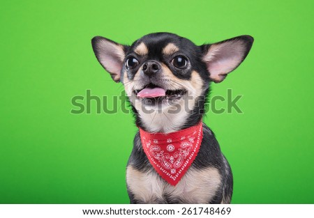 Beautiful chihuahua dog. Animal portrait. Stylish photo. Green background. Collection of funny animals - stock photo