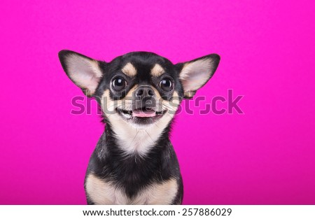 Beautiful chihuahua dog. Animal portrait. Stylish photo. Pink background. Collection of funny animals - stock photo
