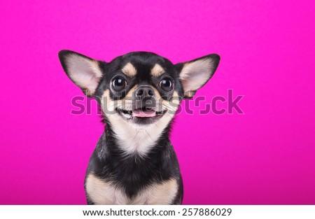 Beautiful chihuahua dog. Animal portrait. Stylish photo. Pink background. Collection of funny animals - stock photo