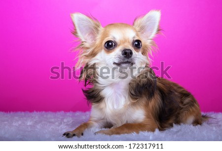 Beautiful chihuahua dog. Animal portrait. Stylish photo. Pink background. Colorful decorations. Collection of funny animals - stock photo