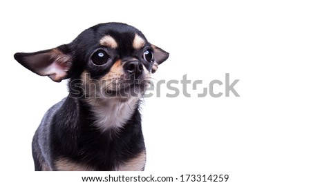 Beautiful chihuahua dog. Animal portrait. Stylish photo. White background. Collection of funny animals