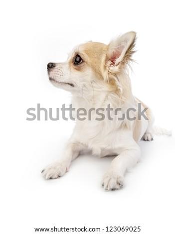 beautiful chihuahua dog lying down on white background   profile portrait - stock photo