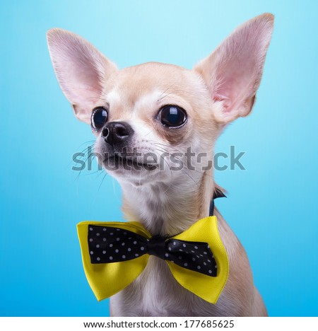 Beautiful chihuahua dog with bow-tie. Animal portrait. Chihuahua dog in stylish clothes. Blue background. Colorful decorations. Collection of funny animals - stock photo