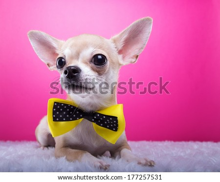 Beautiful chihuahua dog with bow-tie. Animal portrait. Chihuahua dog in stylish clothes. Pink background. Colorful decorations. Collection of funny animals