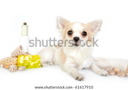 beautiful chihuahua dog with spa accessories on white background - stock photo