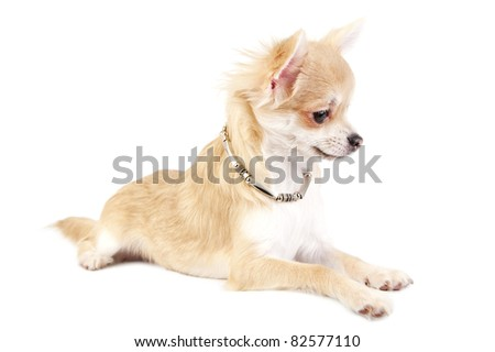beautiful chihuahua puppy with necklace lying on white background close-up