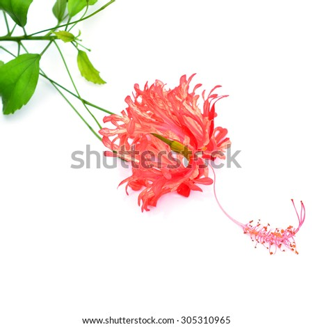 Beautiful Chinese Rose, Citharexylum spinosum red flower isolated on white background