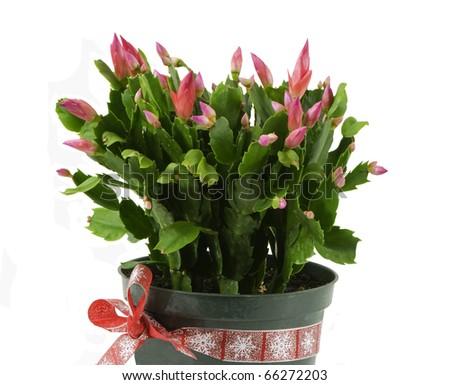 beautiful christmas cactus on a white background - stock photo