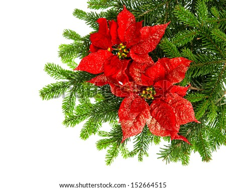 beautiful christmas tree branch with red poinsettia flower over white background
