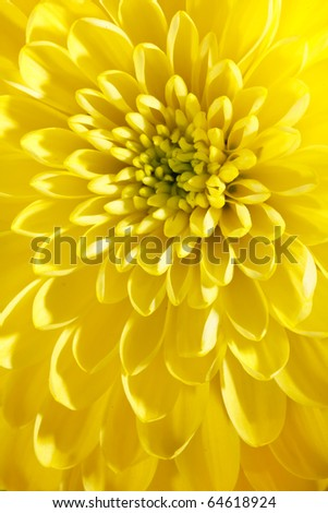 beautiful chrysanthemum - stock photo