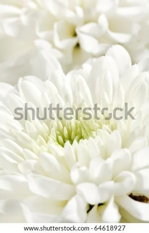 beautiful chrysanthemum - stock photo