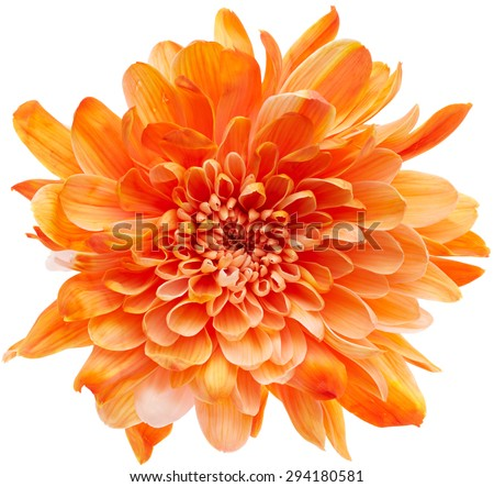 Beautiful chrysanthemum flower isolated on white background - stock photo
