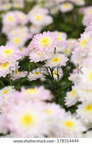 beautiful chrysanthemums flowers in the garden - stock photo