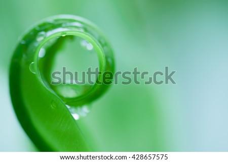 beautiful circle Bird's nest fern leave close up, Water Drops on Fern, Macro photo. - stock photo