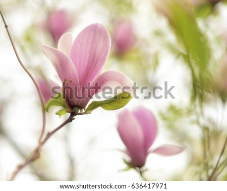 Beautiful close magnolia flowers blooming magnolia stock photo edit beautiful close up magnolia flowers blooming magnolia tree in the spring selective focus mightylinksfo