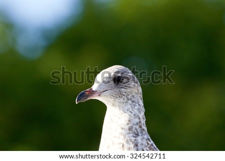 Beautiful close-up of a lesser black-backed gull - stock photo