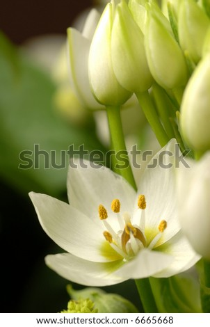 Beautiful close-up of a white flower (Star of Bethlehem). - stock photo