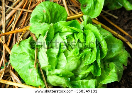 Beautiful close up of fresh and green  Butterhead lettuce  in the garden