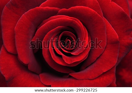 beautiful close up red rose - stock photo