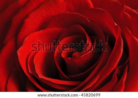 beautiful close up red rose - stock photo