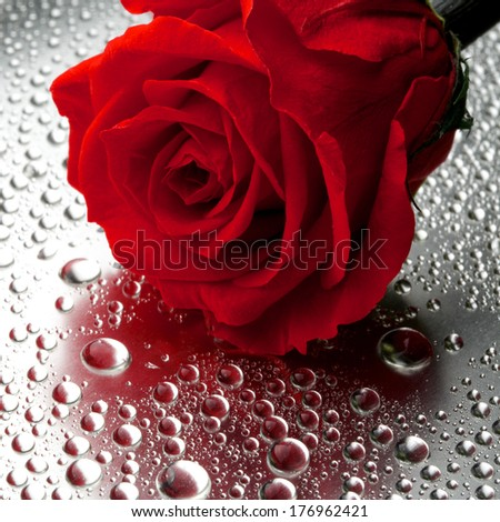 beautiful close up rose on wet  background - stock photo