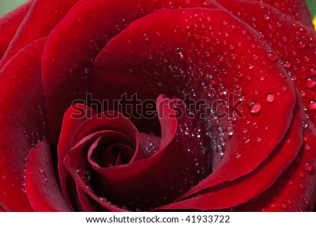 beautiful close-up rose with water drops removed close up on a light background - stock photo