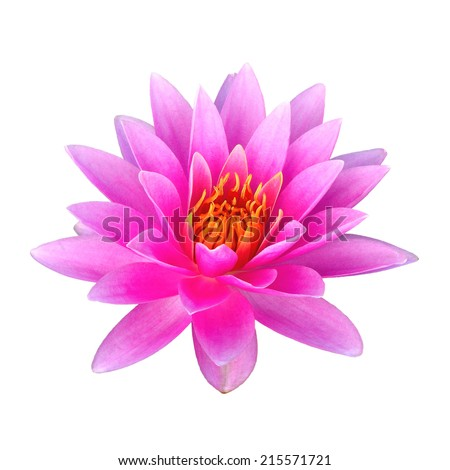 Beautiful closeup pink waterlily or lotus flower isolated on white background. - stock photo