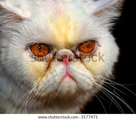 Beautiful Closeup Portrait Of a very Mad Persian Cat