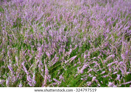 Beautiful closeup view on lilac violet pink of pastel purple color of many little wild field flowers with green stems on natural background, horizontal picture - stock photo