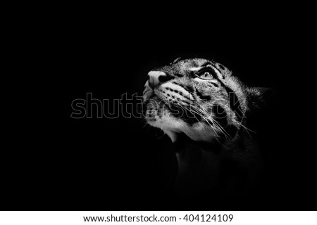 Beautiful clouded leopard on the nice black background/leopard cat on a darkness/zoo prague in czech republic - stock photo