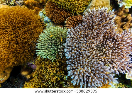 Beautiful clump of colorful corals like delicate flower blossoms raise up from coral reef - stock photo