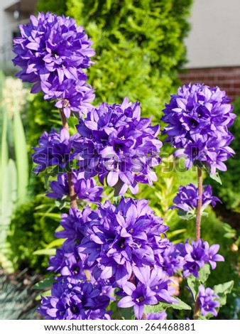 Beautiful Clustered bellflower in daylight on a garden background