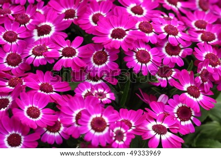 beautiful clustered pink Cineraria in full bloom - stock photo