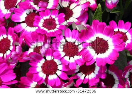 beautiful clustered pink flowers, Cineraria in full bloom during spring - stock photo